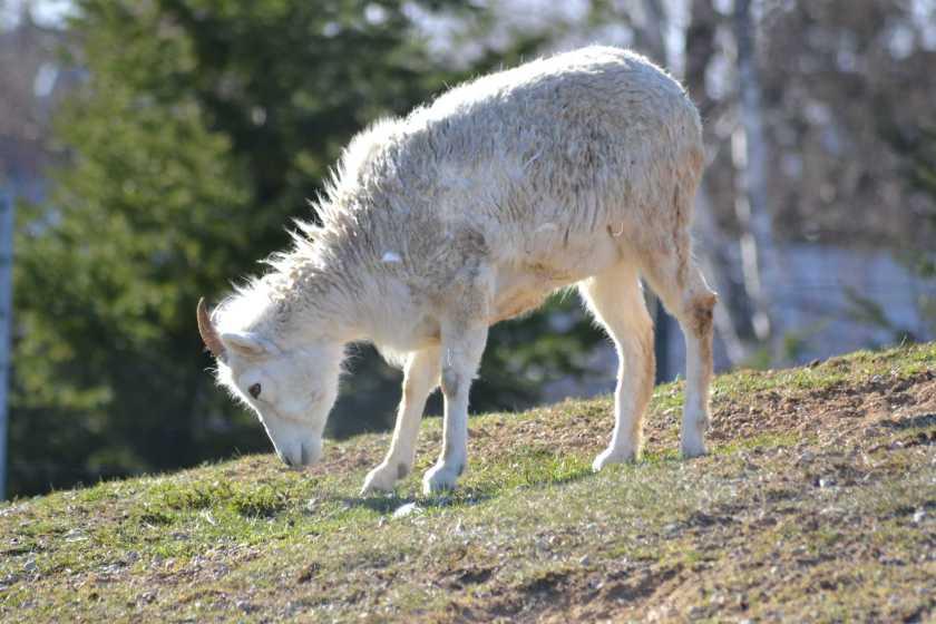 ڈال بھیڑ